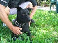 Labrador Retriever - Rusty - Medium - Young - Male -