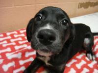 Labrador Retriever - Ruth - Medium - Baby - Female -