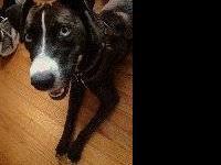 Labrador Retriever - Sadie - Medium - Adult - Female -