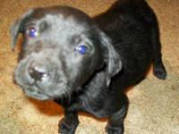 Labrador Retriever - Sally - Large - Baby - Female -