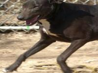 Labrador Retriever - Sally - Medium - Adult - Female -