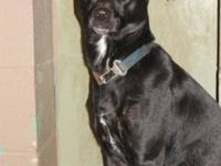 Labrador Retriever - Samantha - Large - Adult - Female