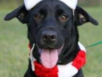 Labrador Retriever - Samantha - Medium - Young - Female