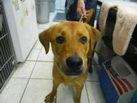 Labrador Retriever - Sami - Medium - Young - Female -