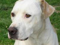 Labrador Retriever - Sampson - Large - Adult - Male -