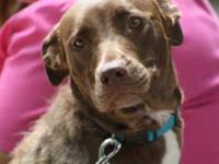 Labrador Retriever - Sandi - Large - Adult - Female -