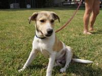 Labrador Retriever - Sandy - Medium - Baby - Male -