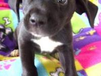 Labrador Retriever - Scarlett - Large - Baby - Female -