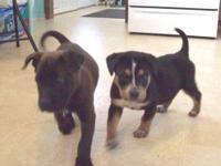 Labrador Retriever - Shadow - Large - Baby - Male -
