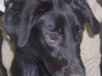 Labrador Retriever - Shadow - Medium - Young - Male -