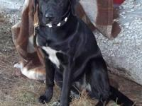 Labrador Retriever - Shalom - Large - Young - Female -