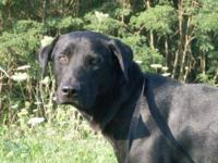 Labrador Retriever - Shane - Large - Adult - Male -