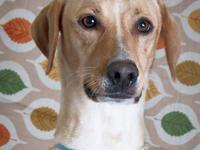 Labrador Retriever - Shasta - Large - Adult - Female -