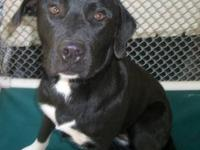 Labrador Retriever - Shelby - Large - Young - Female -
