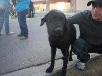 Labrador Retriever - Shiloh - Large - Young - Male -