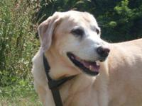 Labrador Retriever - Sinatra - Large - Senior - Male -