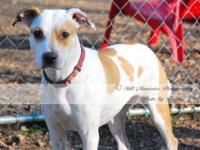 Labrador Retriever - Skyler - Medium - Young - Female -