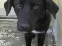Labrador Retriever - Smitty - Medium - Adult - Male -