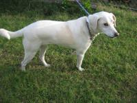 Labrador Retriever - Snow - Large - Young - Male - Dog
