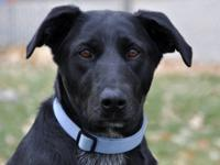Labrador Retriever - Sophie - Large - Adult - Female -
