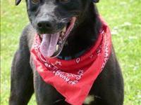 Labrador Retriever - Steven - Medium - Adult - Male -