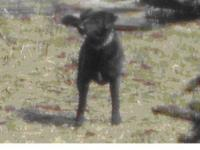 Labrador Retriever - Still Needs A Home. Waiting 2 Yrs
