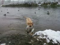 Weather or not your looking for a great hunting dog or