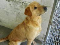 Labrador Retriever - Sugar - Large - Adult - Male -
