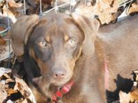 Labrador Retriever - Sugar - Large - Young - Female -