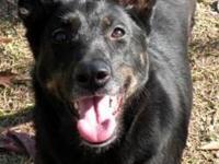 Labrador Retriever - Sweetie Pie - Medium - Adult -