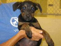 Labrador Retriever - Tacey Bug - Small - Baby - Female