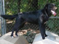 Labrador Retriever - Tammi - Medium - Young - Female -