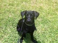 Labrador Retriever - Tammy - Medium - Young - Female -