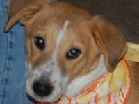 Labrador Retriever - Tanner - Medium - Baby - Male -
