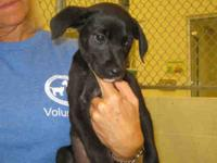 Labrador Retriever - Tara Belle - Small - Baby - Female