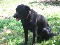 Labrador Retriever - Tillie - Large - Adult - Female -