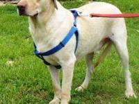 Labrador Retriever - Titus - Extra Large - Senior -