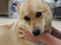 Labrador Retriever - Toby - Large - Young - Male - Dog