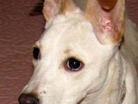 Labrador Retriever - Toby - Medium - Senior - Male -
