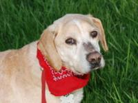 Labrador Retriever - Tony - Large - Senior - Male -