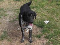 Labrador Retriever - Tracey - Medium - Adult - Female -