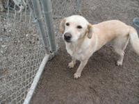 Labrador Retriever - Trixie - Medium - Adult - Female -
