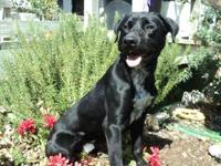 Labrador Retriever - Trooper - Large - Young - Male -