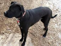 Labrador Retriever - Tucker - Large - Young - Male -