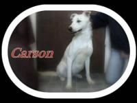 Labrador Retriever - Tucker - Large - Young - Male -