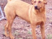Labrador Retriever - Tuff - Large - Young - Male - Dog