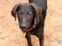 Labrador Retriever - Tye - Medium - Young - Male - Dog