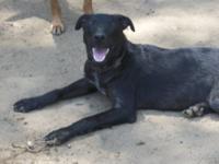 Labrador Retriever - Tyson - Medium - Young - Male -