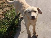Labrador Retriever - Usher - Medium - Young - Male -