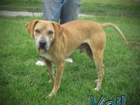 Labrador Retriever - Vail - Large - Adult - Male - Dog